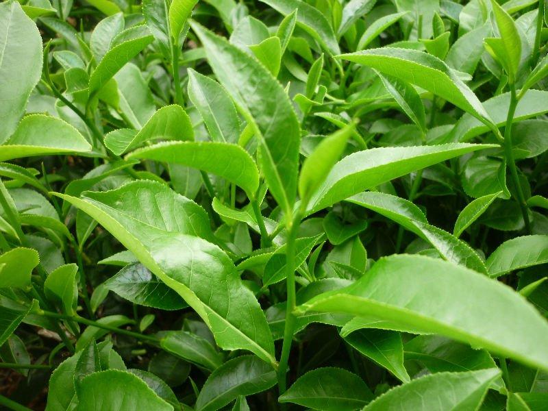 Nằm mơ thấy cây chè/cây trà có điềm gì? Đánh con đề nào để trúng lớn? 1799218812
