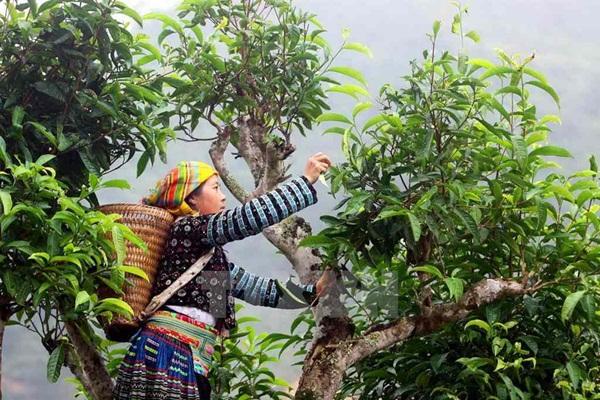 Bạch Shan Trà Suối Giàng 100g