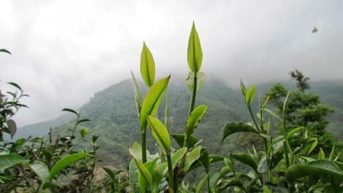 Những búp non của cây trà cổ thụ
