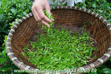 Nguyên liệu chế biến Trà Móc Câu Hảo Hạng Thái Nguyên