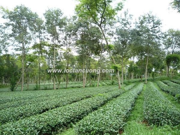 nguyên liệu để sản xuất Trà oolong cao cấp Lộc Hương