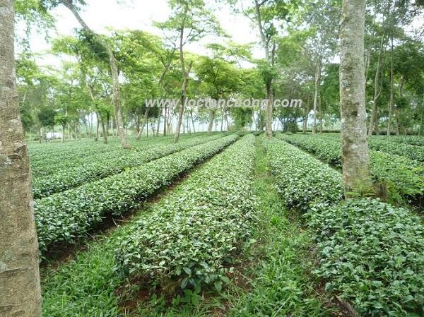 Đồi trà Oolong có rất nhiều cỏ xanh bao phủ để đảm bảo vườn Trà Oolong luôn giữ được độ ẩm và hương thơm hoa cỏ