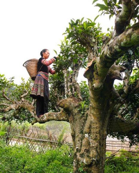 Người dân leo lên những cành cây trà cổ thụ để hái những búp trà