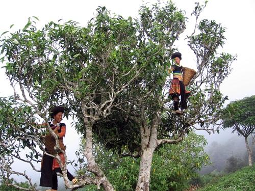 Trà Shan Tuyết Cổ Thụ – Hương Vị Của Núi Rừng Tây Bắc,BÁN CHÈ THÁI NGUYÊN, ban tra thai nguyen, chè thái, chè thái nguyên, MUA CHÈ THÁI NGUYÊN Ở ĐÂU, trà thái nguyên