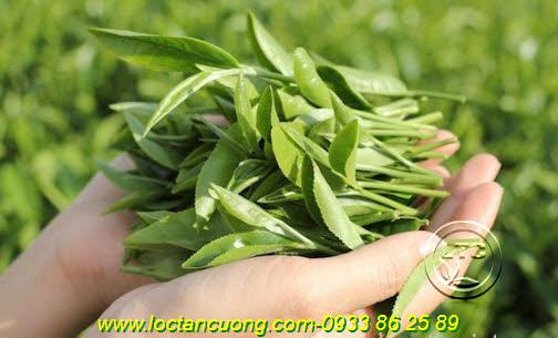 Trà Búp Lộc Xuân được làm từ 100% búp chè tươi Tân Cương Thái Nguyên