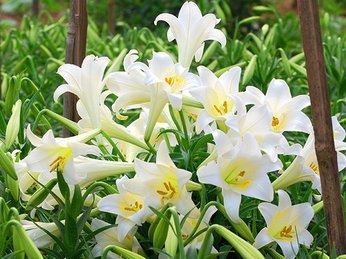 3 cách cắm hoa loa kèn dịu dàng đón tháng 3 về
