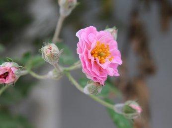 Cách dưỡng hoa hồng tầm xuân - mang cả vườn hoa hồng vào nhà bạn