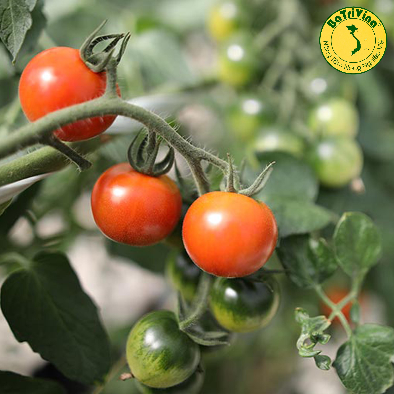 Cà chua Sweet Hokato giống hữu cơ Mỹ - Combo 5 hạt