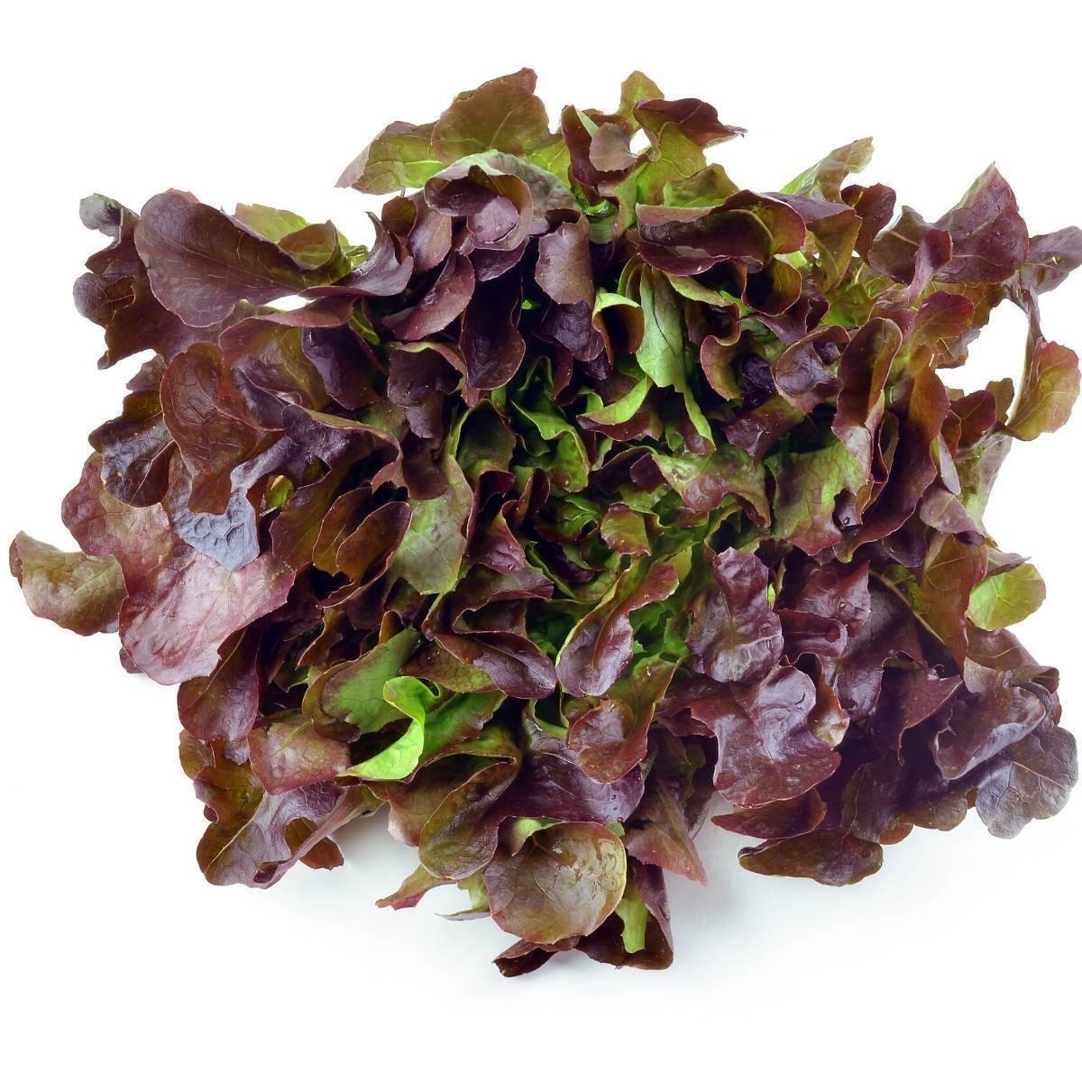 Xà lách Red Oakleaf - Combo 50 hạt bọc men Xà lách mùa hè Red Oakleaf màu đỏ đẹp chịu nhiệt tốt