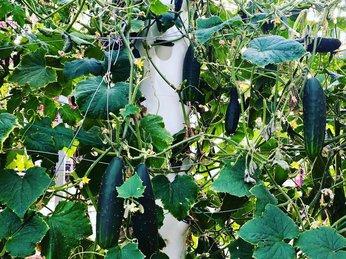 Cách trồng Dưa Leo bằng phương pháp thủy canh cho cây sai quả