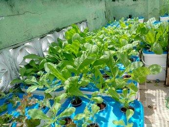 Phủ xanh ban công, sân thượng nhỏ, chật hẹp bằng những luống rau xanh mướt đẹp miễn chê