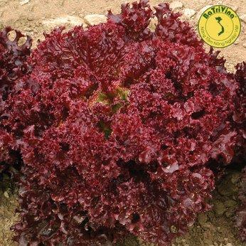 Xà lách xoăn đỏ sậm Lolo Rosa - Hũ 1gr (1000 hạt trần)