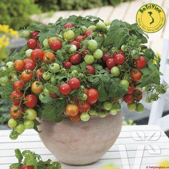 Cà chua bi lùn đỏ Tada giống Mỹà chua bi lùn đỏ Tada giống Mỹ - Combo 5 hạt