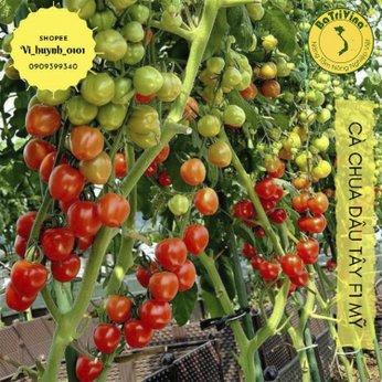 Siêu phẩm Cà chua Cherry Dâu Tây
