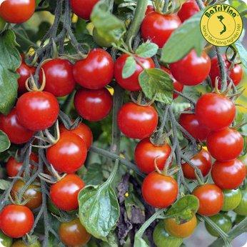Cà chua trái cây ngọt Sugar Cherry - Combo 5 hạt giống