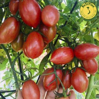 Cà chua Cherry Tiger Đỏ - Combo 5 hạt