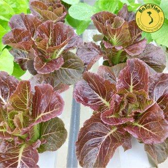 Xà lách Ranate OG - Combo 50 hạt bọc men cho cây to khỏe, chịu nhiệt chịu lạnh tốt, dễ trồng và năng suất cao