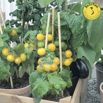 Cà chua bi lùn vàng Yellow Choice - Combo 5 hạt