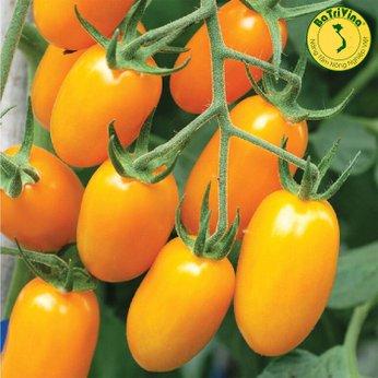 Cà chua trái cây Nova - Combo 5 Hạt