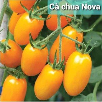 Cà Chua Trái Cây Ngọt Nova