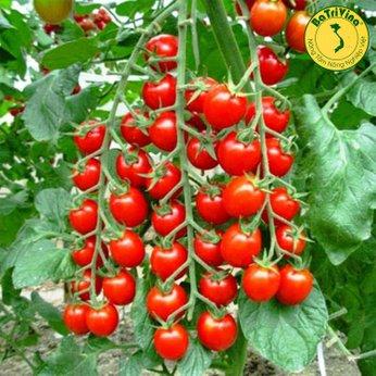 Cà chua Chuỗi Ngọc siêu đẹp giống Mỹ - Combo 5 hạt