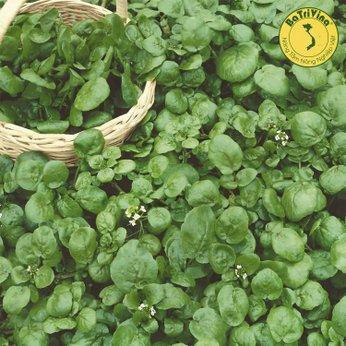Xà lách Xoong (Watercress) - Gói 1gr (~5000 hạt)