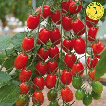Cà chua cherry đỏ Garincha F1 Hà Lan - Combo 5 hạt