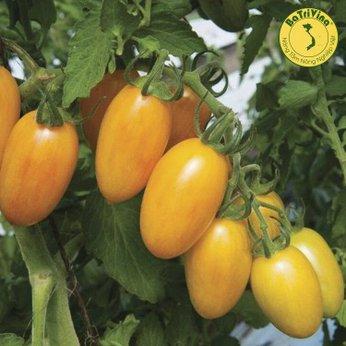 Cà chua Golden Tiger - Combo 5 hạt