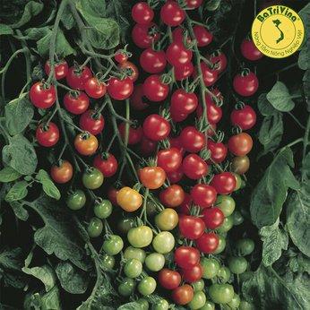 Cà chua trái cây ngọt SuperSweet - Hũ 10 hạt giống