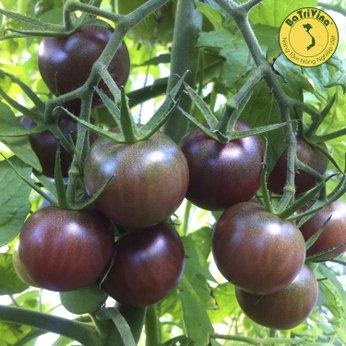 Cà chua Black Cherry - Hũ 10 hạt