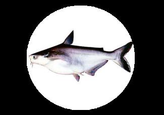 Cá Basa Nguyên Con