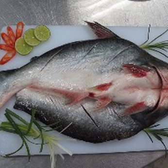 PANGASIUS BUTTERFLY –HEAD ON