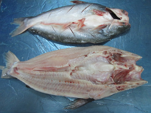 pangasius butterfly head on2.jpg (120 KB)