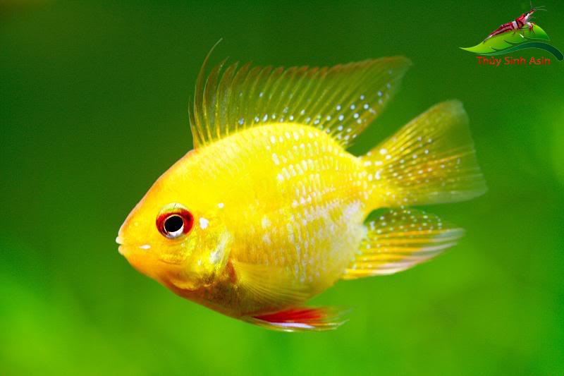 Cá phượng hoàng ngũ vàng