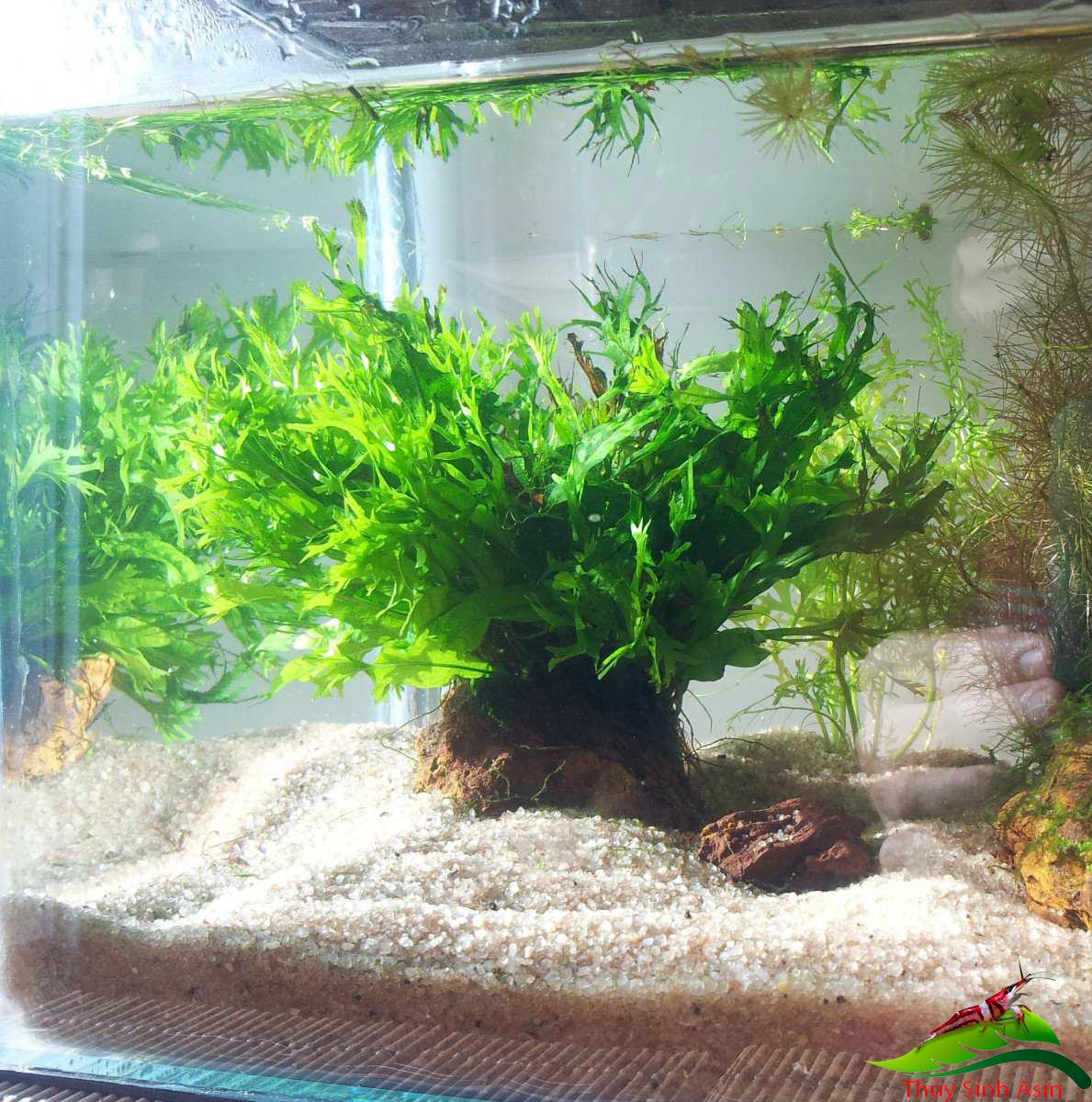 Cây Dương Xỉ Sừng Hưu có thể trồng ở hồ thủy sinh nhỏ hẹp