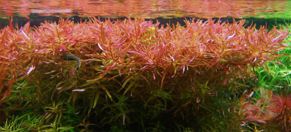 Cây thủy sinh giúp cải thiện khí oxy trong hồ cá