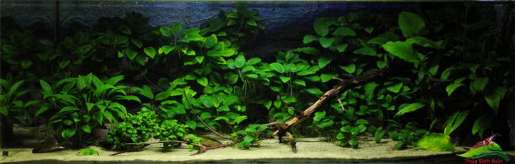 Cây thủy sinh lọc hóa chất trong hồ cá
