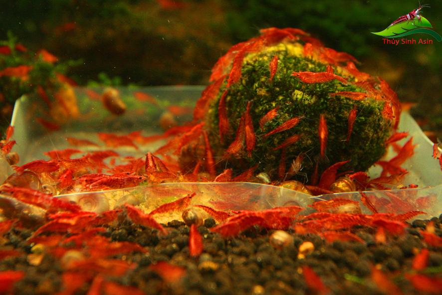 Tép RC đỏ - Fire red