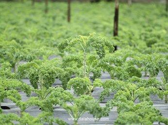 Lợi ích tuyệt vời của bột cải xoăn kale đối với sức khỏe