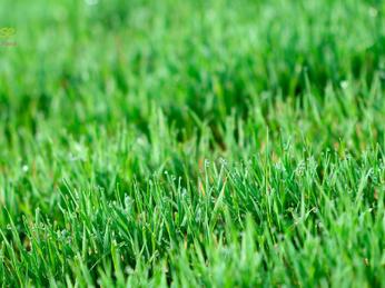 Health Benefits of Wheatgrass: Bệnh Tiểu Đường & Chế Độ Ăn Uống Thường Ngày
