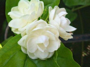 Điều trị mụn trứng cá và làm đẹp da từ hoa nhài