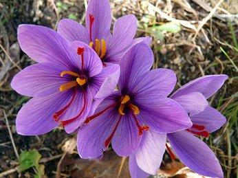 Nhụy hoa nghệ tây - công dụng với sức khỏe và làm đẹp