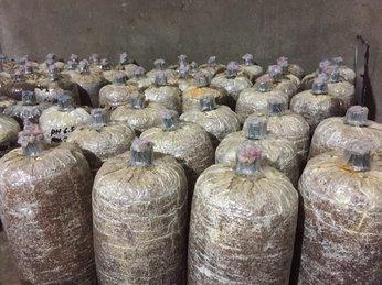 Kết quả hình ảnh cho mùn cưa trồng nấm mối đen