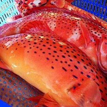 Cá mú sao đỏ
