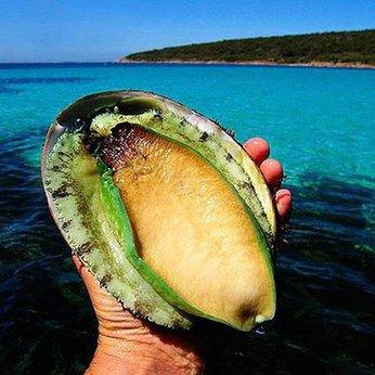 Bào ngư viền xanh Úc