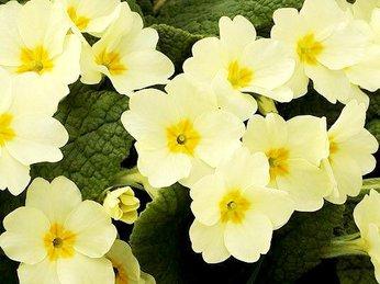 Tinh dầu hoa anh thảo và những tác dụng tuyệt vời dành cho phái đẹp