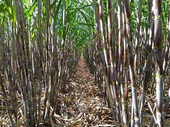 Casuco sẽ tiêu thụ hết mía cho nông dân