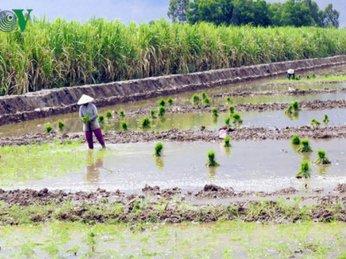 Nông dân bỏ mía chuyển nuôi tôm - lúa cho hiệu quả gấp đôi