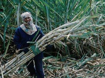 Thái Lan cắt giảm xuất khẩu 500.000 tấn đường vì giá giảm