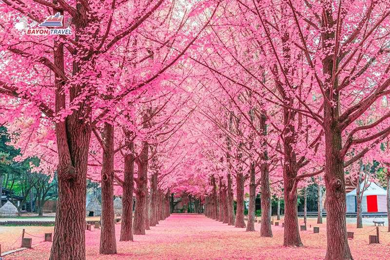 Tour du lịch Hàn Quốc ngắm hoa anh đào 5N4Đ